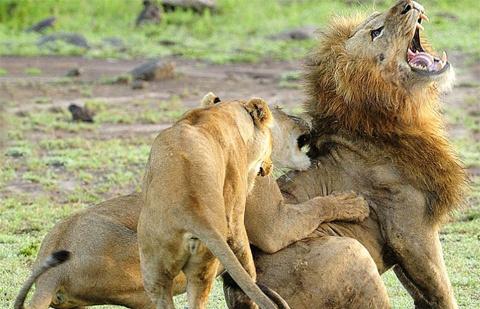 Sự quyết liệt của chúng khiến con sư tử đực trở nên yếu thế.