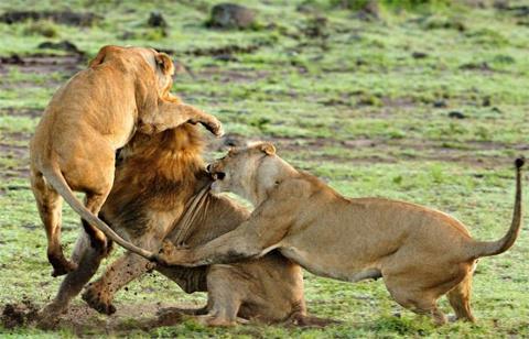 Uy lực và độ chính xác trong các đòn của sư tử đực giảm dần.