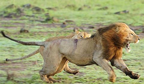 Cuối cùng nó bỏ chạy, song một con sư tử cái vẫn bám theo nó.
