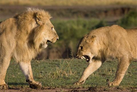 Ngay lập tức một con sư tử cái chặn đường con sư tử đực để bảo vệ con của nó.