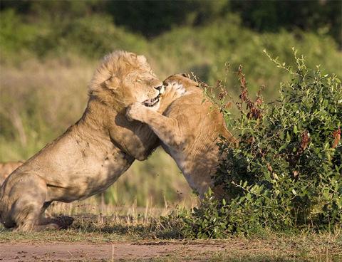 Đương nhiên sư tử đực không chùn bước. Nó tấn công con sư tử cái.