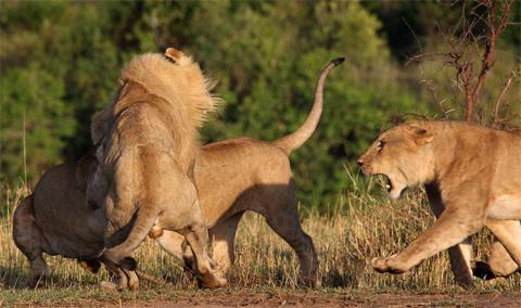 Rồi một con sư tử cái nữa xung trận.