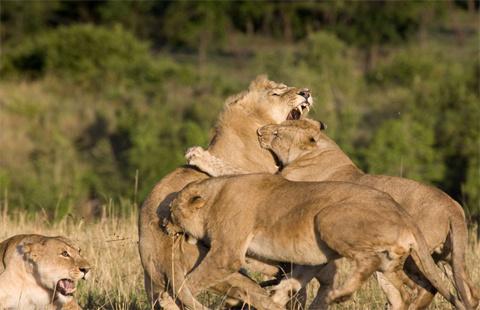 Hàm răng của những bà mẹ cắm ngập vào lớp da của sử tử đực.