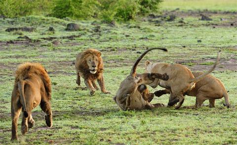 Một con sư tử đực xuất hiện. Có vẻ như nó là bố của những sư tử con.