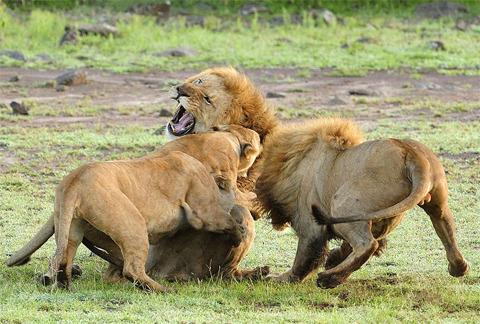 Vì thế nó tấn công con sư tử đực kia.
