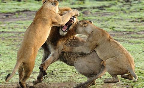 Những con sư tử cái càng đánh càng hăng.