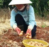 Sản xuất thành công khoai tây siêu nguyên chủng