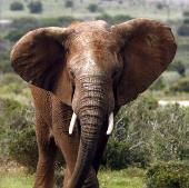Châu Phi có thể sạch bóng voi rừng