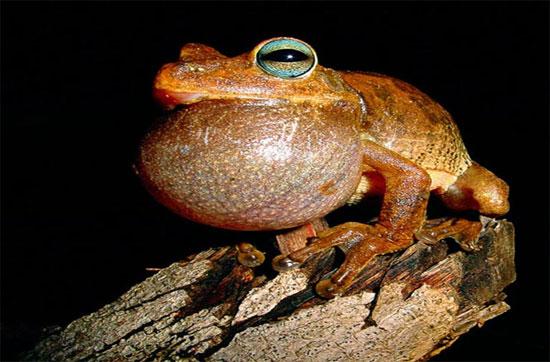 Chú ếch cái này đang gọi bạn tình và dọa dẫm những nàng ếch cái khác tránh xa mình.