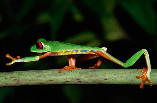 Một chú ếch cây mắt đỏ tại vùng rừng Colon, Panama.