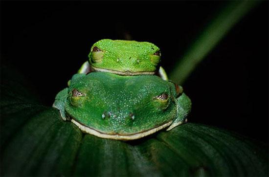 Một cặp ếch cây mắt đỏ đang giao phối.