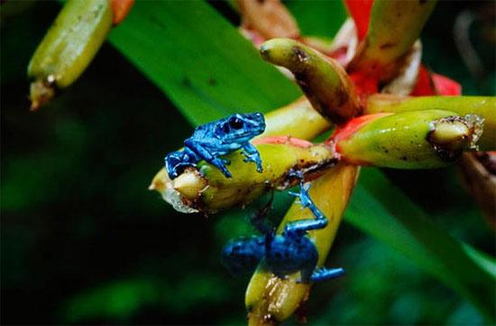 Nhiều loài rất hiếm khi nhìn thấy, chẳng hạn như loài ếch xanh này.