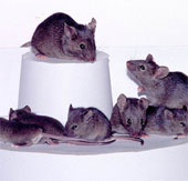Nhật: Nhân bản 1 con chuột ra gần 600 con