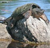 """Rùa """"giành thắng lợi"""" tại hội nghị bảo tồn quốc tế"""