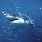 Video: 15.000 cá mập trên vùng biển Florida