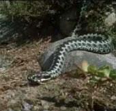 Video: Cuộc sống của rắn tại Bắc Cực
