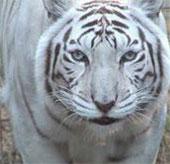 Video: Hổ trắng một mình đại chiến hai sư tử
