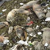 3.000 lợn chết trôi sông ở Thượng Hải