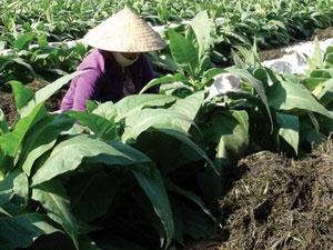 Nông dân xã Quảng Thái, Thừa Thiên-Huế chống hạn cho cây trồng bằng rong mái chèo vớt trong đầm phá Tam Giang.