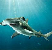 Cộng đồng quốc tế nâng mức độ bảo vệ cá mập
