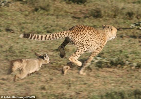 """Cảnh tượng cáo tai dơi """"săn"""" báo được nhiếp ảnh gia người Đức Astrid Kindsvogel chụp được khu vực bảo tồn động vật hoang dã Ngorongoro ở Tanzania"""