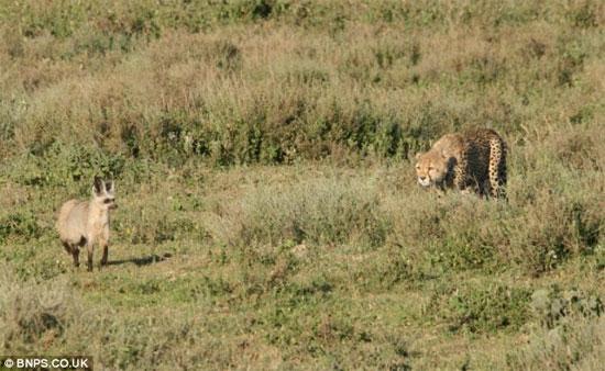 Con báo đang chờ cơ hội để vồ một con cáo tai dơi cho bữa ăn của nó.