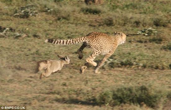 Sau đó, hai con cáo thậm chí còn lao tới phản công khiến báo phải bỏ chạy.