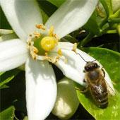 Caffein làm tăng trí nhớ của ong