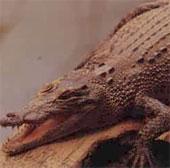 Video: Khỉ thoát thân ngoạn mục khỏi khỏi miệng cá sấu
