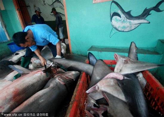 Những con cá mập sau khi được đánh bắt từ biển sẽ được chế biến ngay sau khi lên bờ và việc đầu tiên là những vây của chúng sẽ bị cắt trụi.