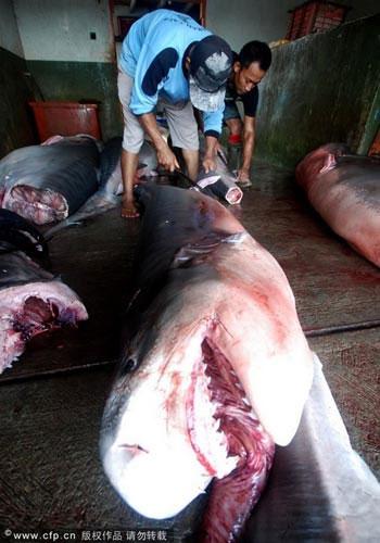 Cá mập bị khai thác vây ngay tại bến cảng ở Indonesia.