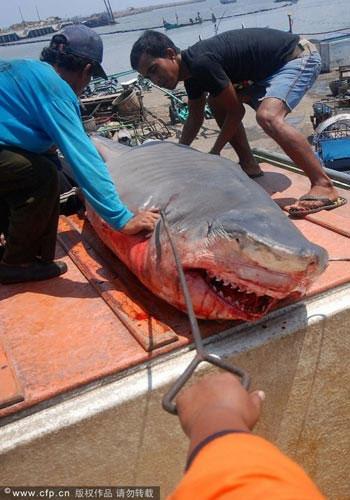 Đây chính là nguyên nhân khiến loài động vật khét tiếng trên đại dương đang phải đối mặt với nguy cơ tuyệt chủng.