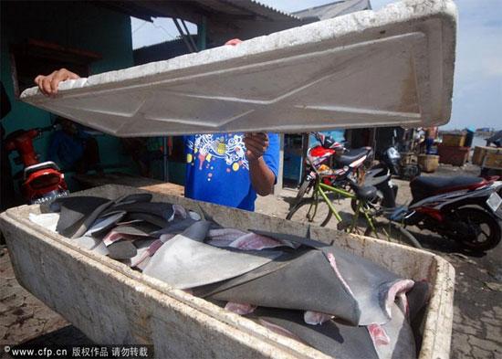 Theo thống kê sơ bộ, một vài loài cá mập đặc hữu tại Indonesia đã không còn tồn tại. Và nhiều loại cá mập khác đang sinh sống tại khu vực biển của quốc gia này có lẽ sẽ mong ước tạo hóa không ban cho mình những chiếc vây mới hy vọng duy trì được sự sống...