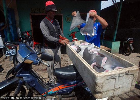 Thế nhưng quốc gia này đang sở hữu ngành khai thác vây cá mập đẫm máu khiến một lượng lớn cá mập bị giết hại hàng năm chỉ để lấy vây.