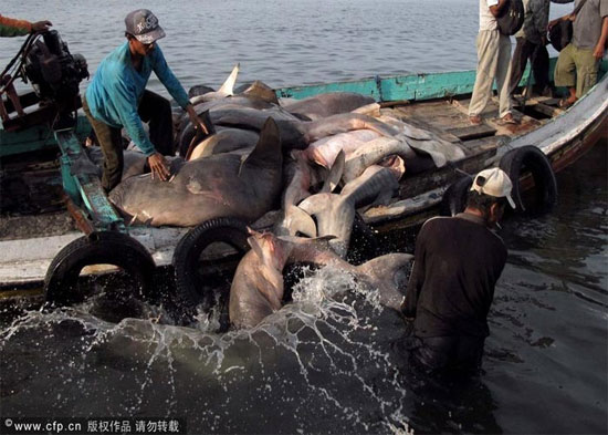 Trong một cuộc họp về việc buôn bán các loài động vật đang gặp nguy hiểm tại Jakarta những cảnh báo rằng với tốc dộ đánh bắt cá mập như vậy. Số lượng cá mập sẽ không thể kịp thời hồi phục tại quốc gia vạn đảo này.