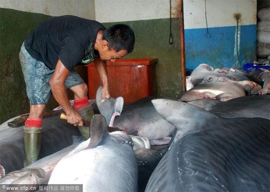 Theo các ngư dân Indonesia cho biết họ săn cá mập để lấy thịt, dầu gan, sụn và đặc biệt là vây.