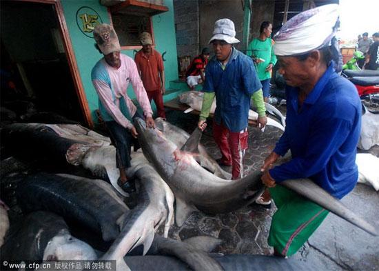 Tuy nhiên, trên thực tế những nhà bảo vệ môi trường tự nhiên tại Indonesia đã nhiều lần chứng kiến hình ảnh những con các mập sau khi bị cắt mất vây đã bị ném lại xuống biển.