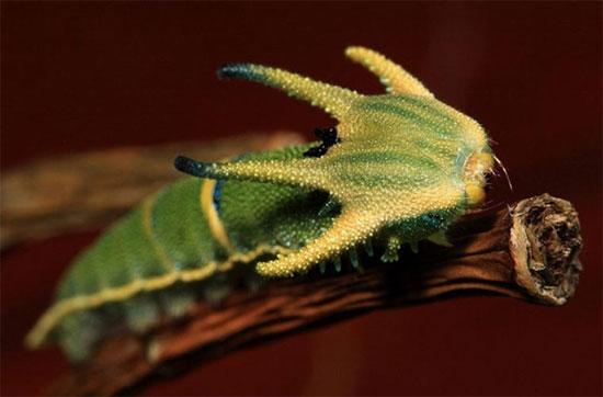 Sâu bướm bay