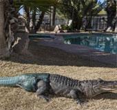 Gắn đuôi giả cho cá sấu