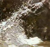 Video: Cú săn mồi của cá sấu