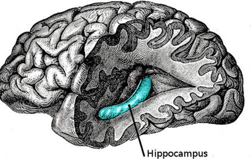 Vùng hải mã trong não