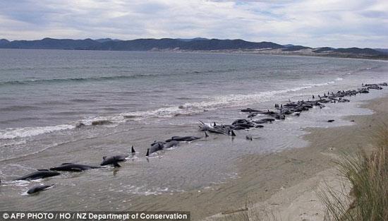 Một vụ cá voi mắc cạn hàng loạt trên bờ biển New Zealand