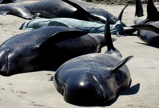Cá voi mặc cạn tập Stewart Island, New Zealand.