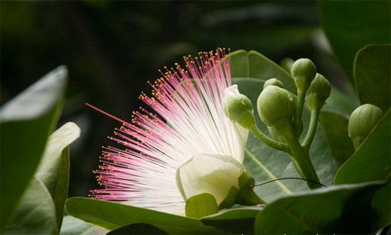 Bàng vuông (Barringtonia asiatica) là một loài thực vật bản địa ở rừng ngập  mặn ven biển và hải đảo nhiệt đới ở Ấn Độ Dương và Tây Thái Bình Dương.