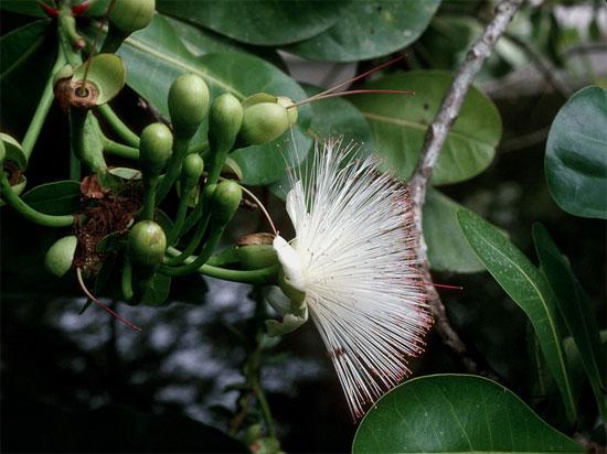 Sức sống của bàng vuông được minh chứng bằng những chùm  hoa tuyệt đẹp, có dáng điệu như một con công xòe đuôi múa.