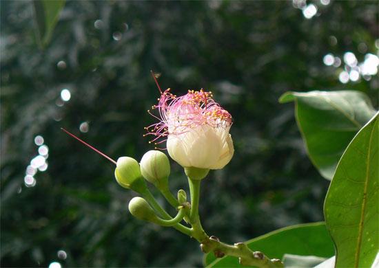 Dù rất đẹp, nhưng hoa cũng như quả và hạt bàng vuông đều có nhiều độc tố. Một số nơi trong  khu vực sử dụng hạt bàng vuông xay thành bột để giết hoặc làm cá bị tê liệt khi đánh cá.