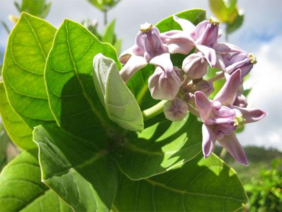 Cây bồng bồng: hoa độc bên đường