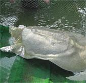 Cộng đồng quốc tế tăng mức bảo vệ rùa Hoàn Kiếm