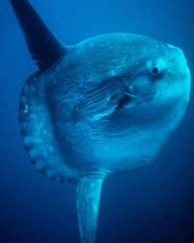 Cá mặt trời là loài cá có xương lớn nhất.  Con trưởng thành nặng khoảng hơn 1 tấn.