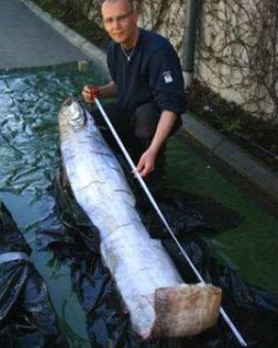 Vua cá trích có chiều dài 17m từng được phát hiện ở Thụy Điển đầu năm 2013.